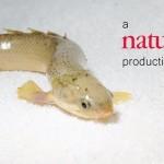 人為的に進化をさせる!? 訓練により魚を陸上生活させる