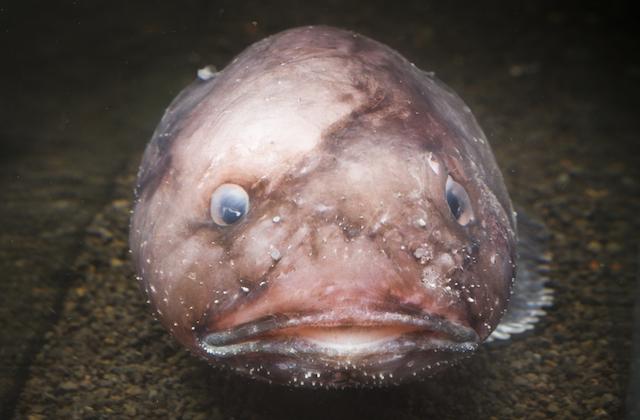 深海 新種 ブロブフィッシュ