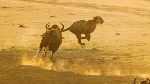 インドのバッファローは虎よりも強し
