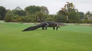 ジュラシックパークサイズのワニがゴルフ場に現れ、親善試合が中止に!