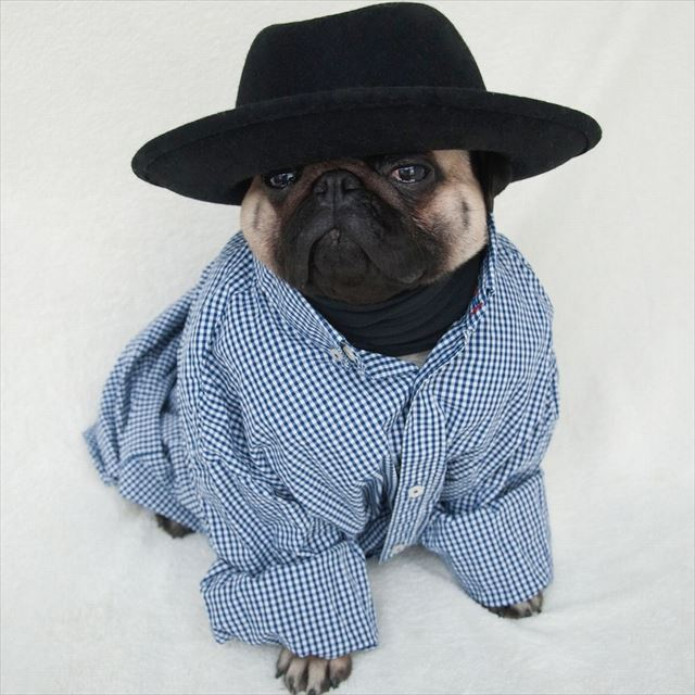 パグ,洋服,犬