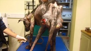 保護された瀕死の犬 ビリーが回復するまで