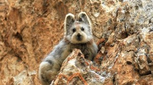 約30年ぶりに発見された。中国のイリナキウサギがカワイイ!