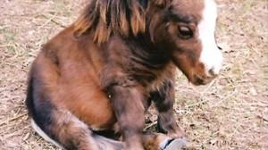 ギネスが認めた世界一小さい馬 サンベリーナ!