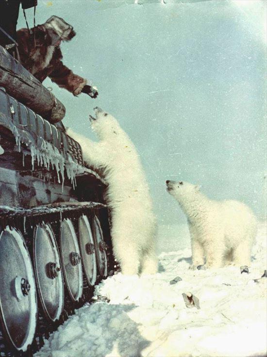 1950年 戦車からシロクマに餌付けをするロシア兵