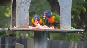 オーストラリアで異常事態! インコが肉食化!!