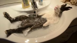 お風呂に入るウサギ