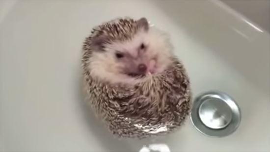 プカプカお風呂に入るハリネズミ