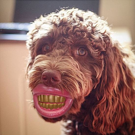 つけ歯をした犬