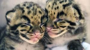 アメリカのフロリダ動物園で生まれた珍獣ウンピョウの赤ちゃんが可愛い!