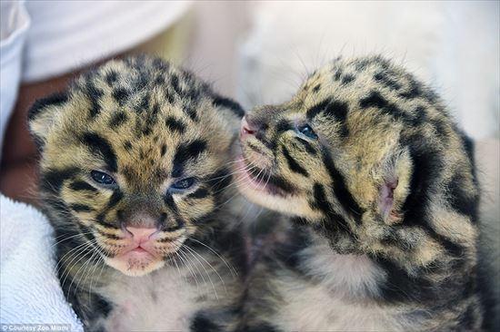 2匹のウンピョウの赤ちゃん