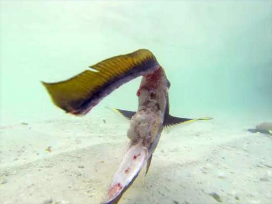 頭とヒレだけで泳いでいる魚