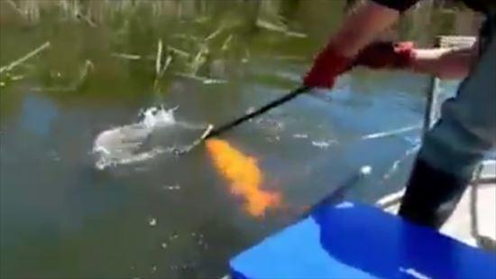 オーストラリアで巨大な鯉が釣り上がる