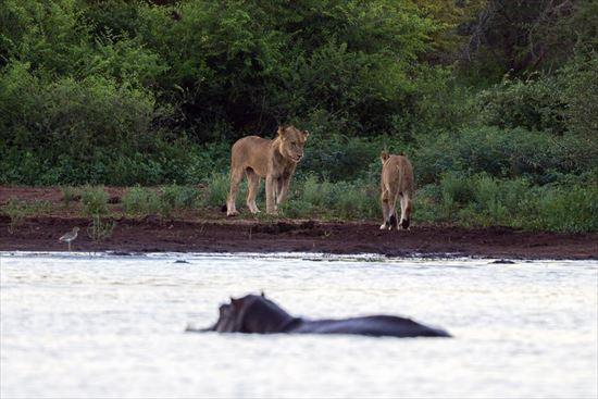 カバを襲うライオン
