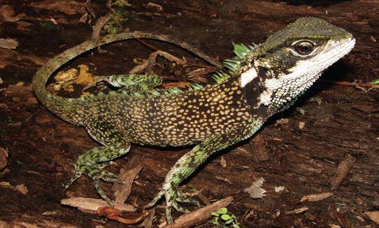 ペルーとエクアドルで新種のトカゲ3種(モリイグアナ)が発見される!