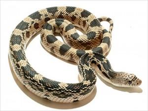 浴室のヒータの上に、長さ180センチの白ヘビが現れる!