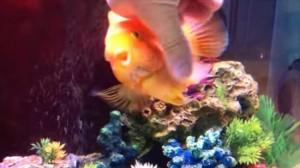犬みたいに懐いた魚! 魚界のアンジョリーナ・ジョリー パロットファイヤー!