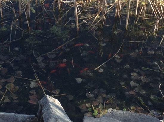 湖が赤く染まる! アメリカ・コロラド州の湖で金魚が大量繁殖中!