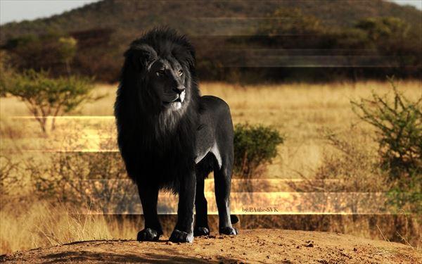 メラニズムのライオン