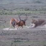 ケンカしてる場合じゃない! ケンカ中のインパラに不意打ちするライオン!