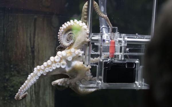世界初! 水族館に来たお客さんの写真撮影をする タコのランボー君(メス)