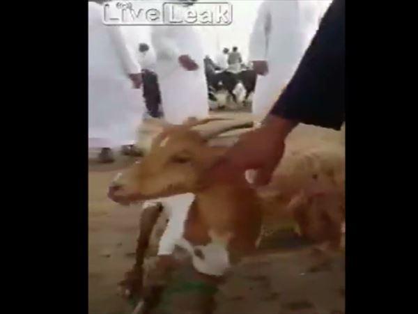 サウジアラビアで発見された 背中から角が生えたヤギ!