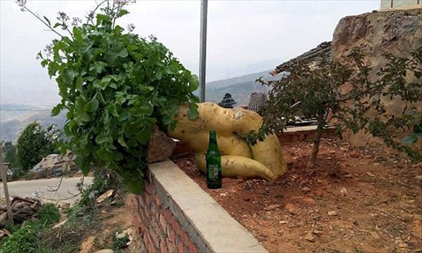 「うんとこしょ、どっこいしょ」物語が現実に!中国で大きなカブがとれました!