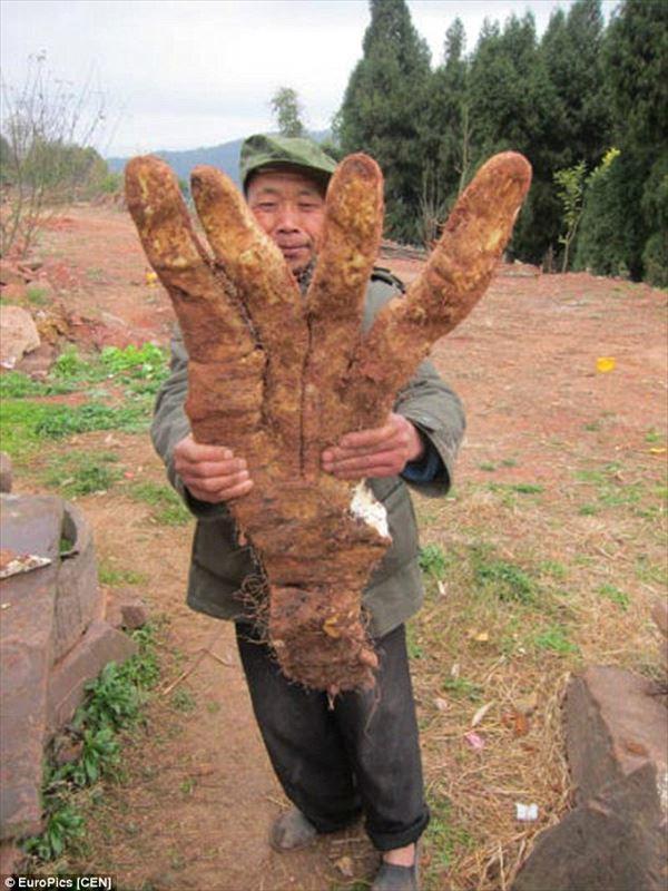 巨大な山芋
