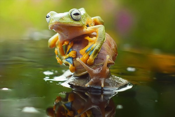 カタツムリに乗るカエル