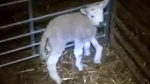 イギリスで5本足のヒツジが誕生! 幸か不幸か、出荷の危機は回避される!