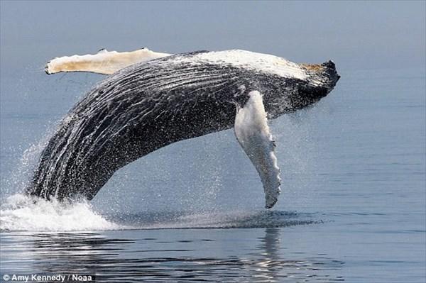 ザトウクジラが急増中!? もはや「絶滅危惧種ではない!」米団体が報告!
