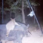 イノシシに乗るアライグマ