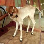 聖なる牛がインドで誕生!? 10の唇と5つの口を持った子牛!!