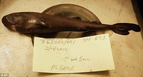 36年ぶり史上2匹目! 過去1匹しか見つかっていない超レアなフクロザメ発見