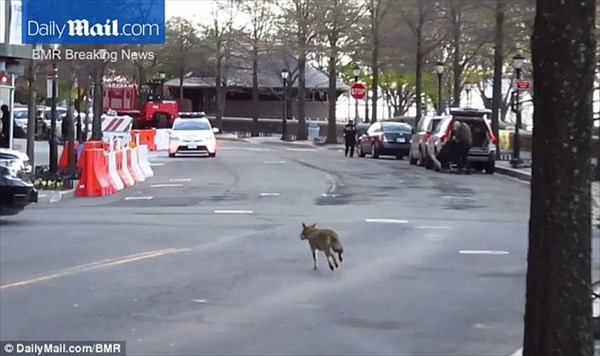 野良犬かと思いきやコヨーテ! ニューヨークで警察が出動する大騒動に!