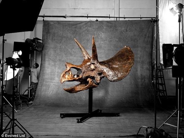 トリケラトプスの頭蓋骨の化石が、現在オークションに出品中!!