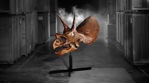 トリケラトプスの頭蓋骨の化石が、なんと現在オークションに出品中!!