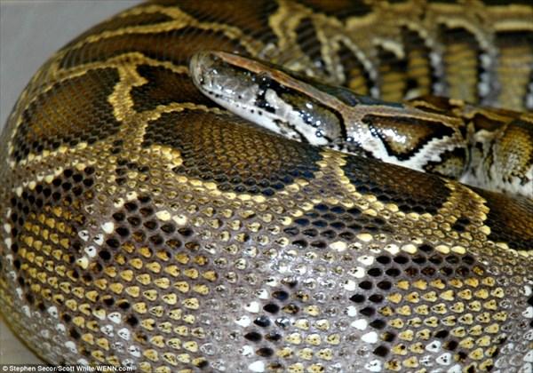 わずか1週間で完全消化! ワニを丸飲みにしたヘビの消化をX線画像で観察!