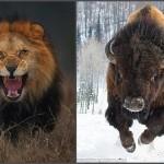 迫力満点! カメラマンが命がけで撮影したライオン&バッファロー写真!!