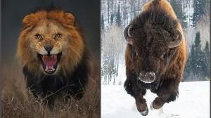 迫力満点! カメラマンが命がけで撮影したライオン&バイソン写真!!