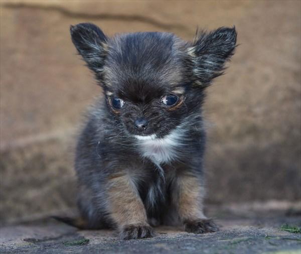 このままいけば世界最小!? イギリス最小のチワワのディズニーちゃん