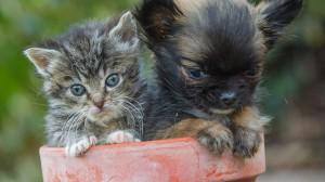 このままいけば世界最小!? 子猫が親友! チワワのディズニー