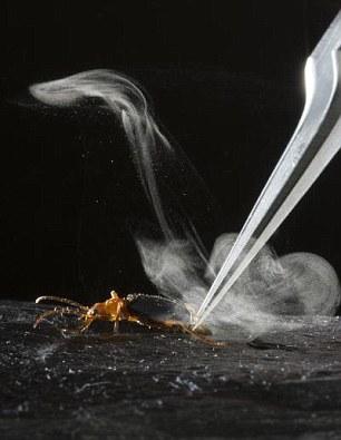 100度を超える高温ガスを噴射! 化学兵器を持つ昆虫ボンバルディアビートル