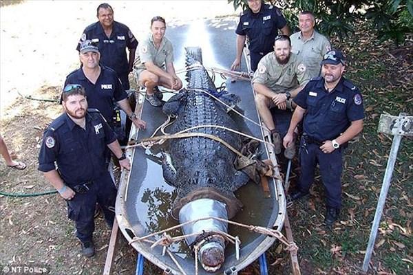 超凶暴! ボートを追いかけ、犬を食べた巨大ワニを6人がかりで捕獲!!