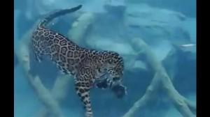 猫は水が嫌いだと誰が言った! 水中で食事をするジャガー