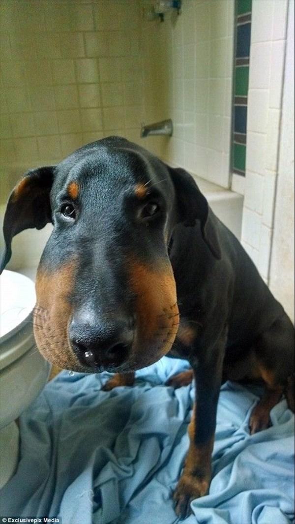 こちらも鼻が頭部程に大きくなってしまった犬