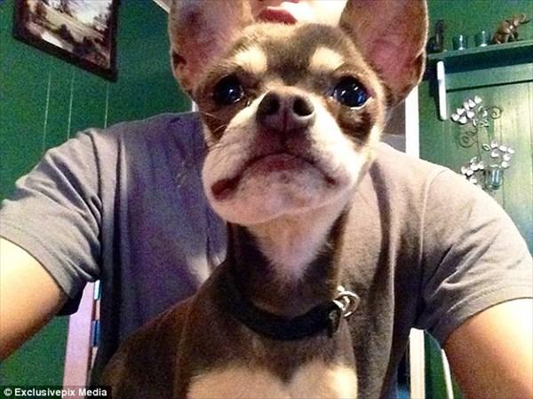 可愛いけど痛々しい・・・ ハチに刺されて顔面が腫れた犬画像12匹!