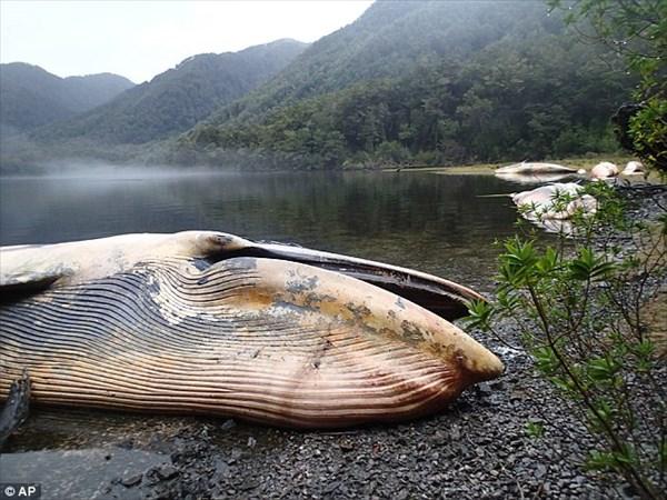 噴火や地震の前兆!? チリで絶滅危惧種のイワシクジラが大量に打ち上げられる!