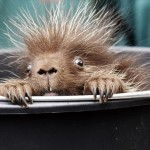 ブサイク?カワイイ? いつの間にか動物園で生まれていたヤマアラシの赤ちゃん