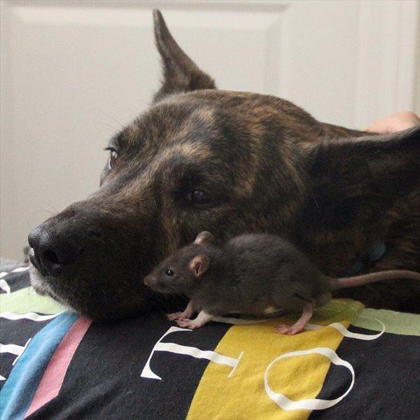 仲が良すぎるってレベルじゃない! 犬とネズミの仲良しコンビ!!